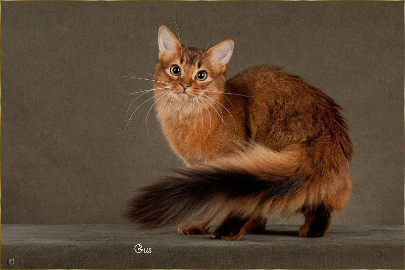 сомалийская пушистая кошка