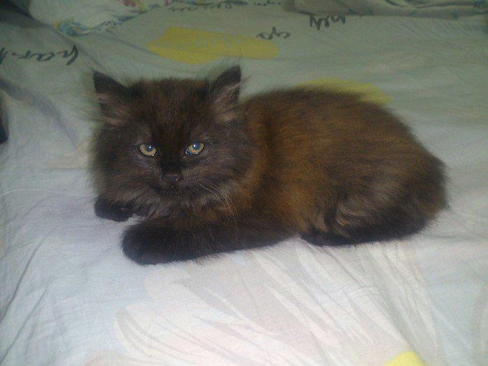 шантильи тиффани кошка фото