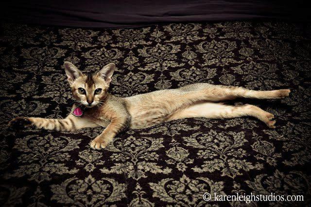 чаузи кошка лежит на полу фото
