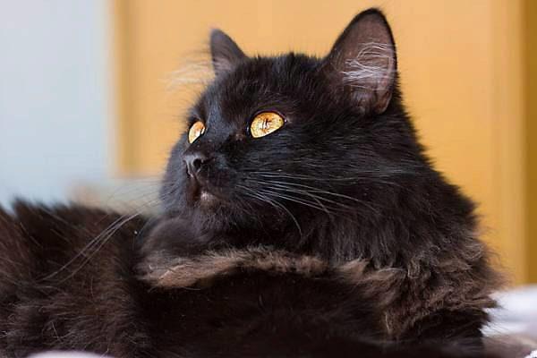 О породе кошек шантильи тиффани