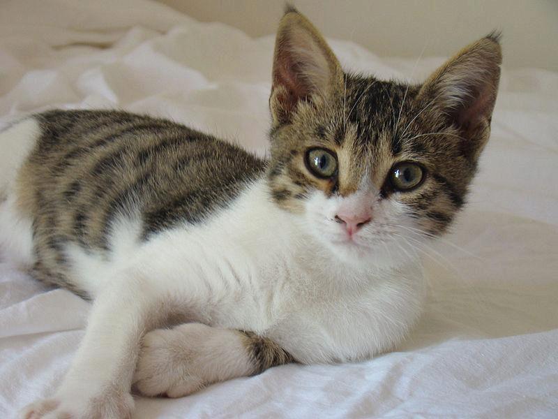 эгейский котенок