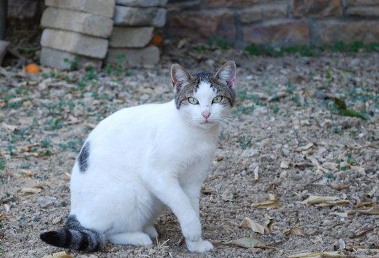 эгейский кот на природе