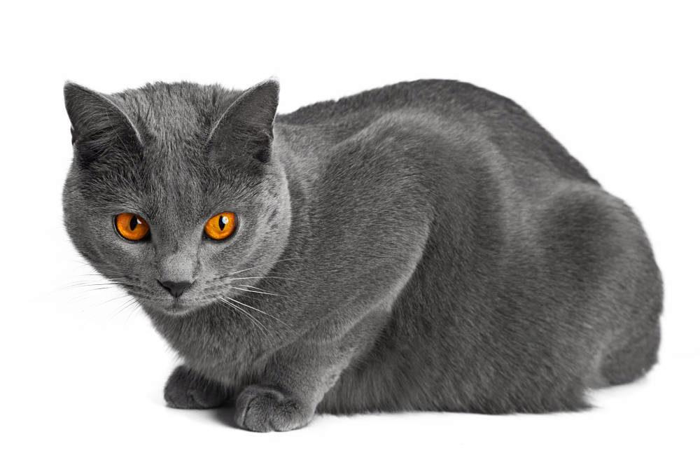 порода шартрез кот
