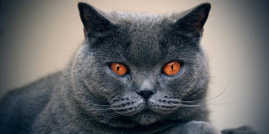 шартрез французская порода кошек