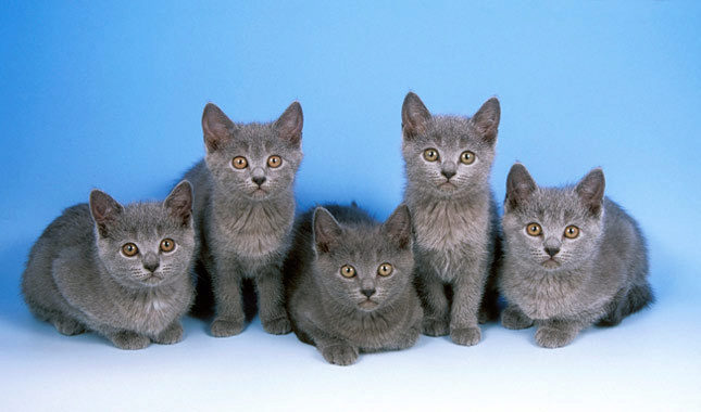 котята породы шартрез