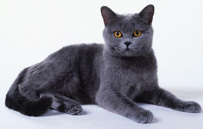 О породе кошек Шартрез