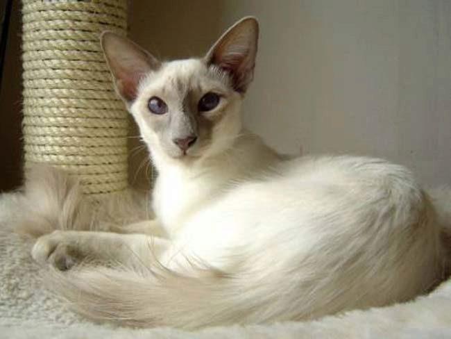 яванез яванская кошка