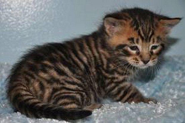 тойгер котёнок