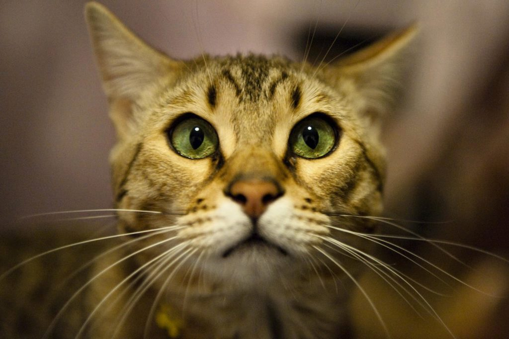 тойгер котик