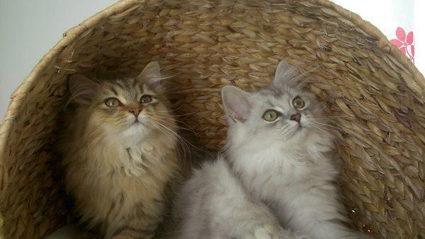 хайленд страйт кошки