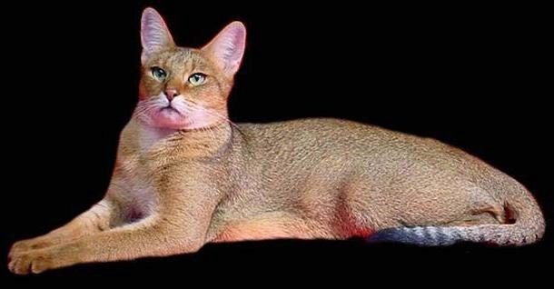 О породе кошек чаузи