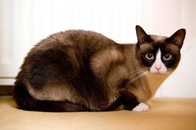 О породе кошек сноу-шу