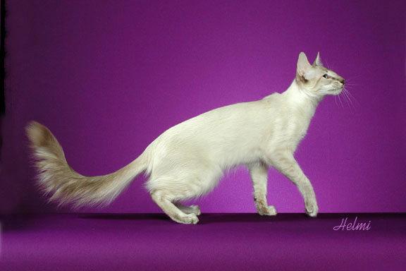 О яванской породе кошек