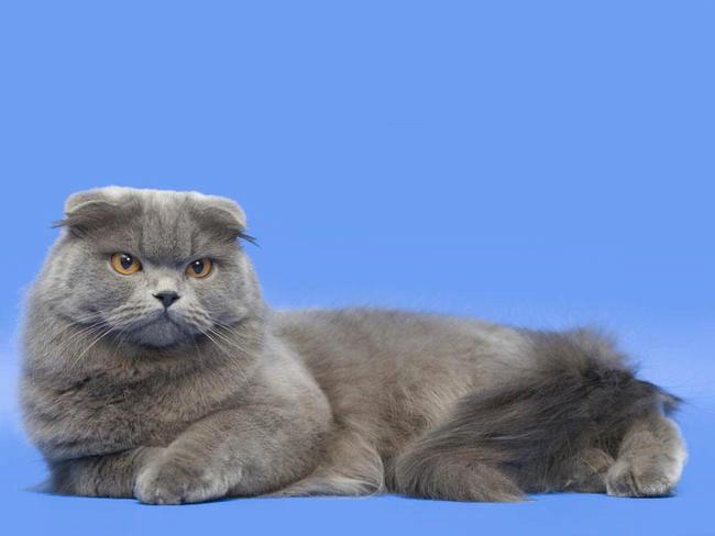 хайленд фолд кошки фото