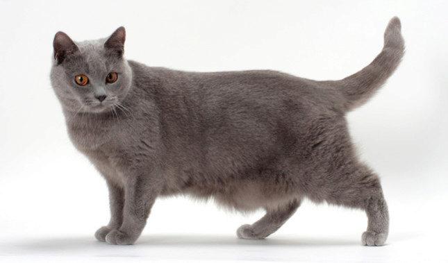 шартрез порода кошек