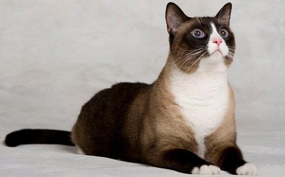 сноу-шу порода кошек