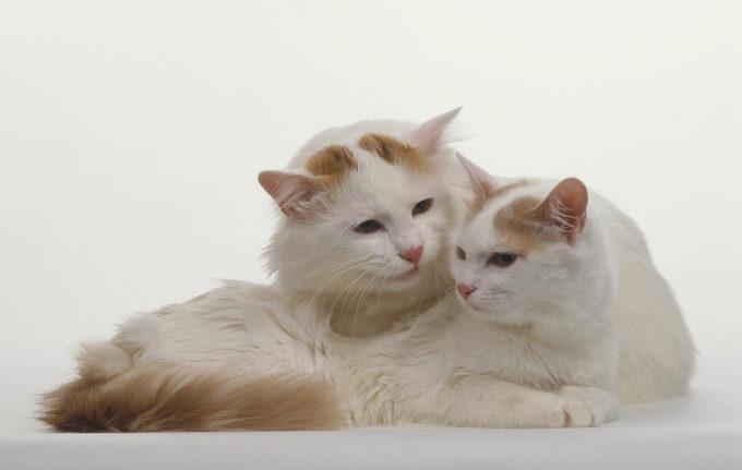 турецкий ван кот и кошка
