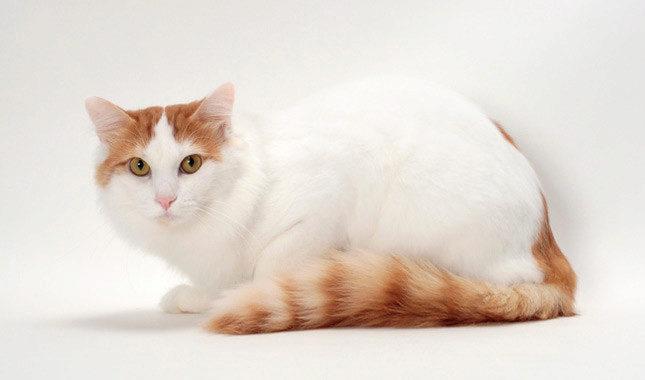 О породе кошек турецкий ван