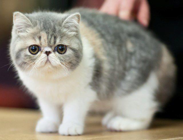 кошка экзот фото
