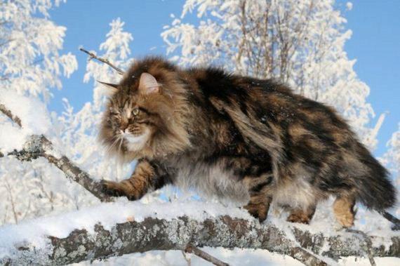 О сибирской породе кошек