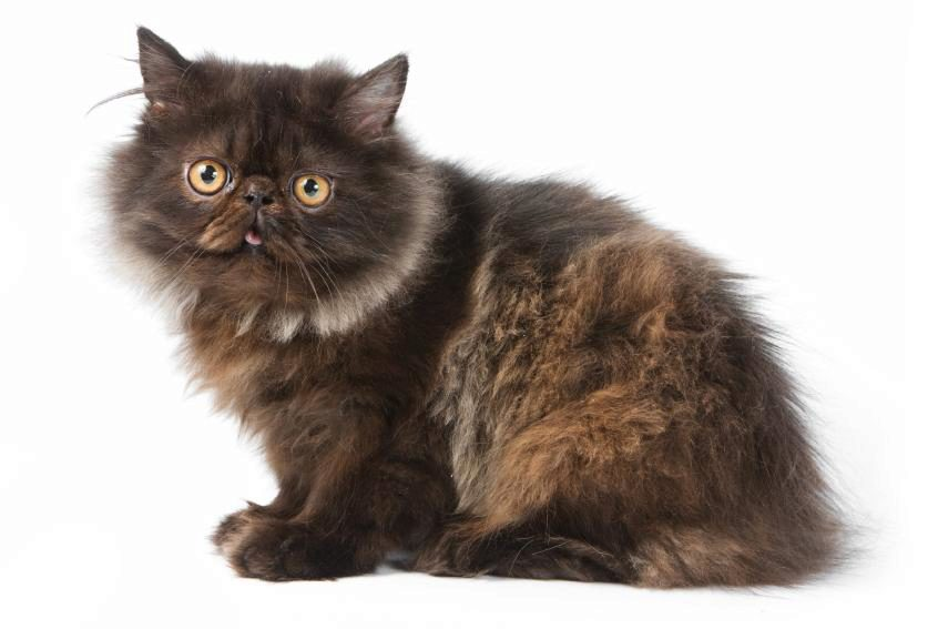 черный персидский котёнок