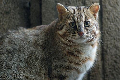 редкий японский иромото кот