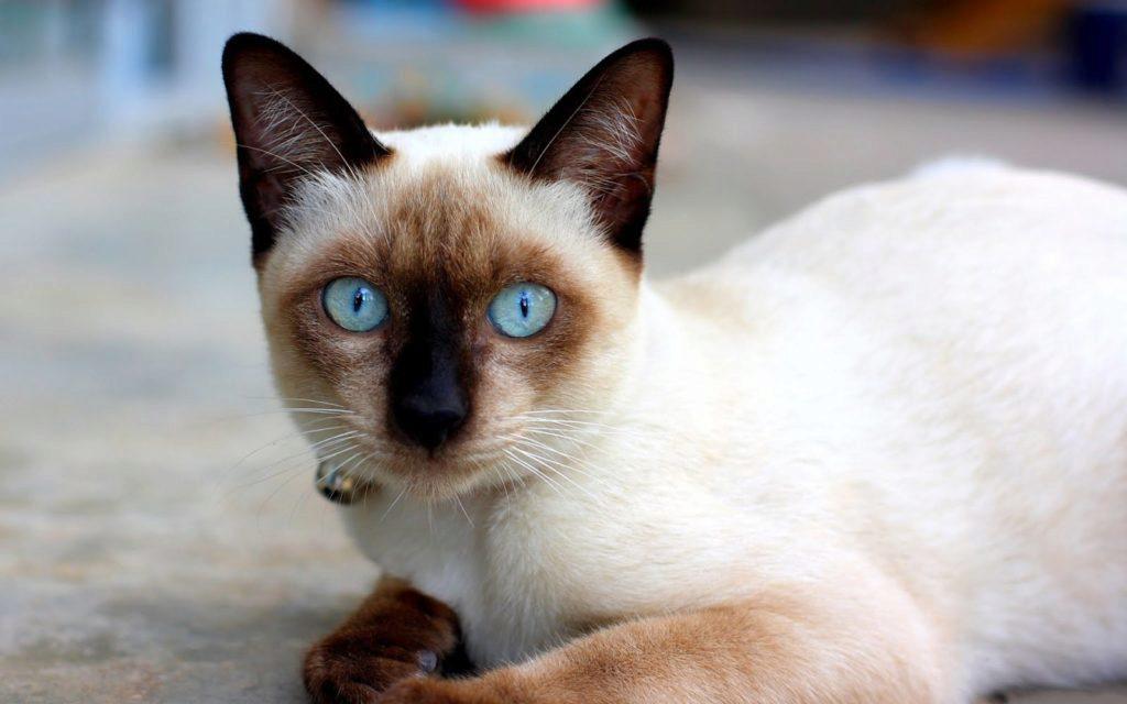английская сиамская кошка