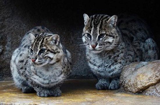 японский кот иримото