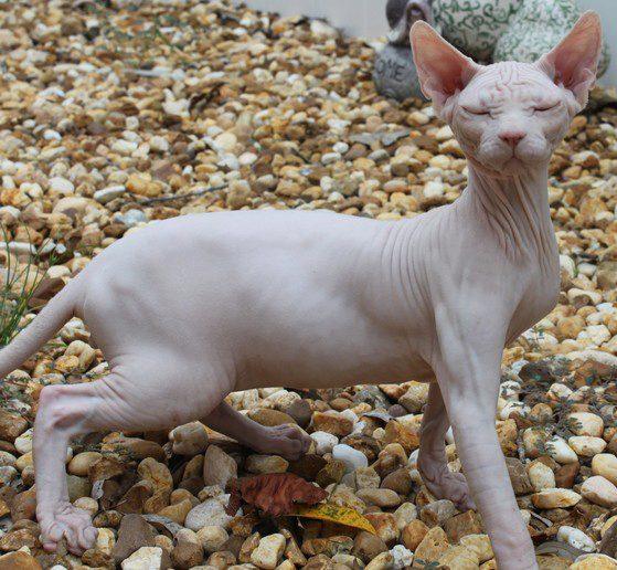 донской сфинкс кот гуляет