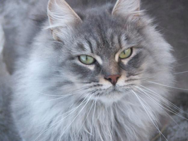 голубая сибирская кошка