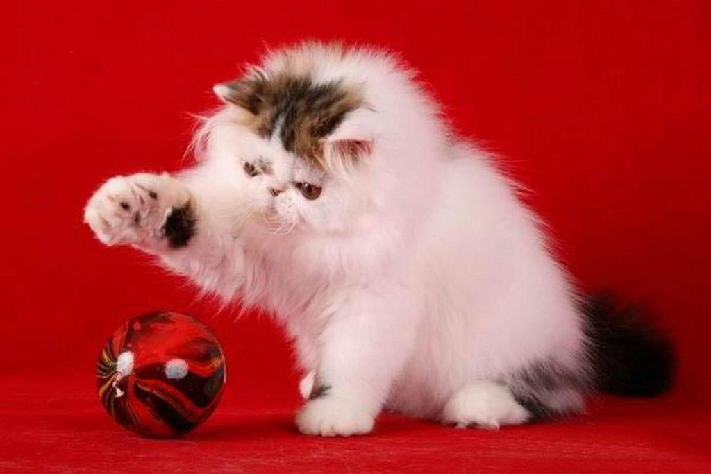 персидский котенок играет