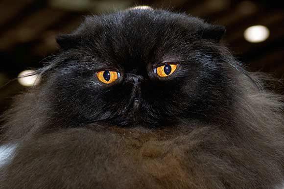 черный окрас персидского кота