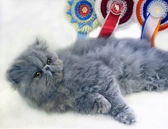 голубой окрас персидского кота