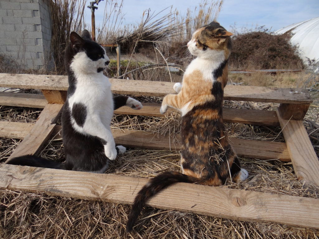кошки соперничают