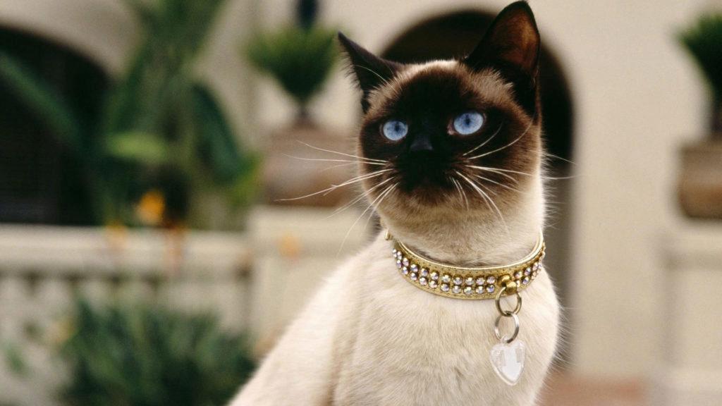 кошка сиамская порода