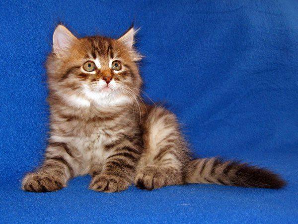 сибирский котенок табби