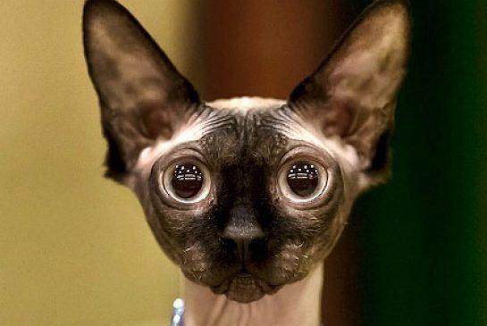 канадский котенок глаза