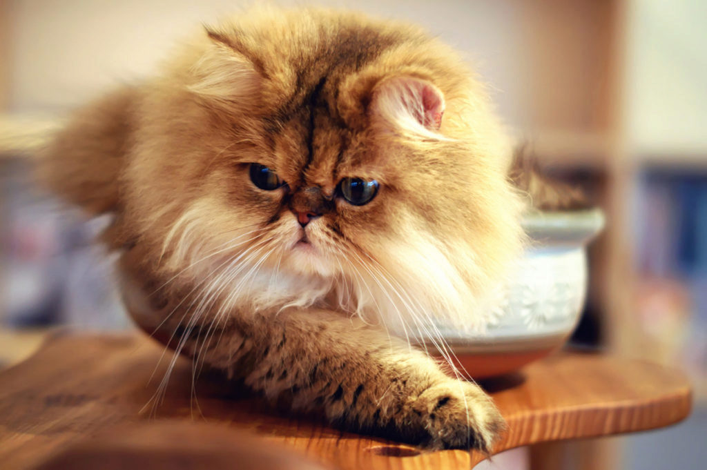 угрюмый персидский кот