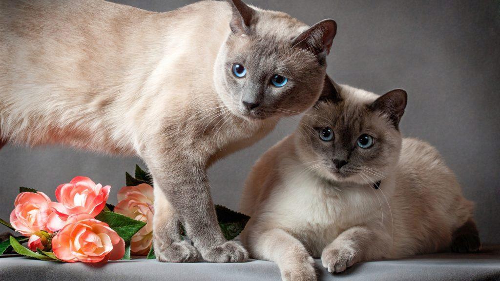 тайские кот и кошка фото