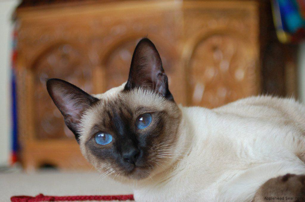 О сиамской породе кошек