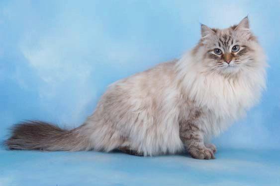 Сибирская кошка невская маскарадная
