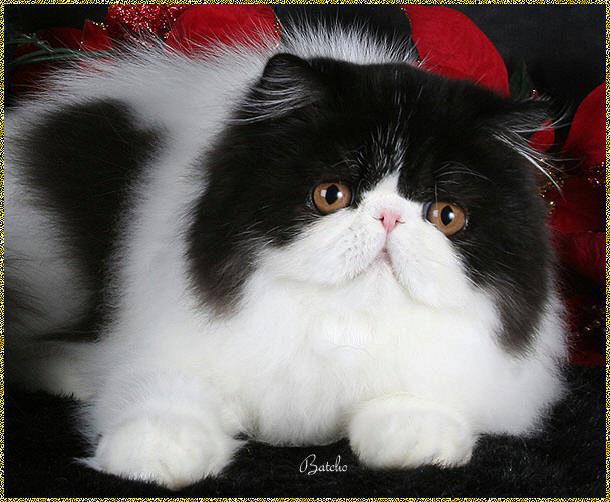 красивый перс кот