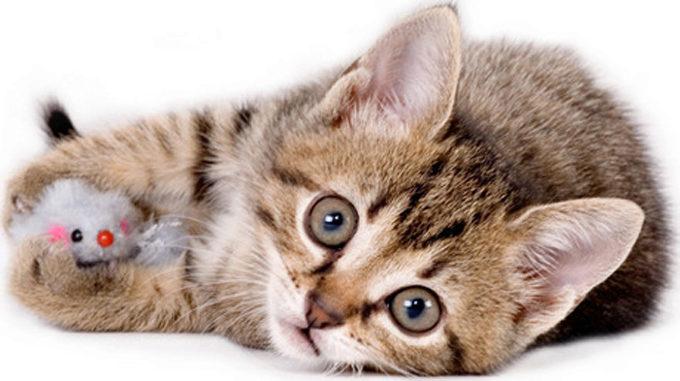 котенок с игрушечной мышью