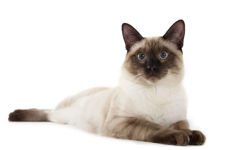 тайский кот лежит
