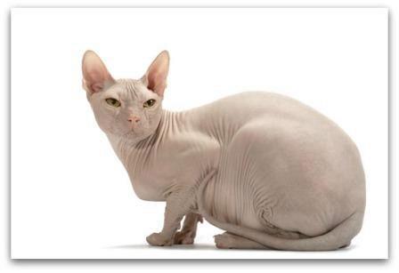 донской сфинкс кошка окрас бриид