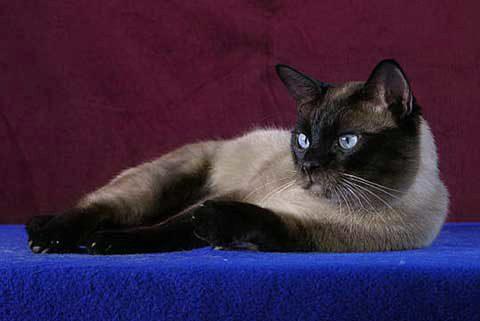 тайский красавец кот