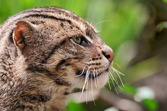 японская порода кошек