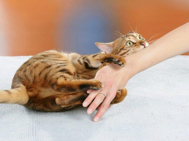 кот кусает руку