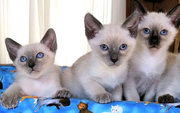 тайские котята фото