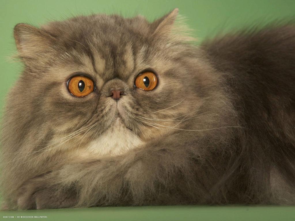 персидский кот удивленный